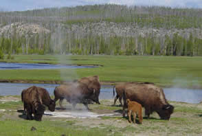 Bison viewing in Yellowstone wiki