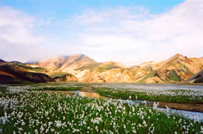 Landmannalaugar and cotton grass LKP